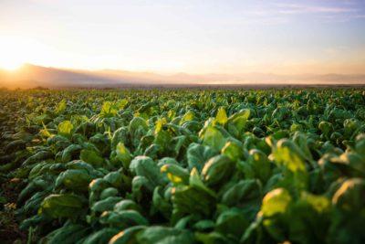 From our farms: What are the benefits of spinach?