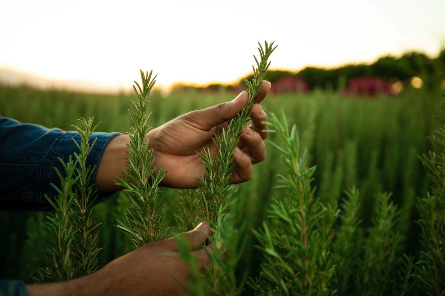 From our farms: Why do we grow Rosemary?